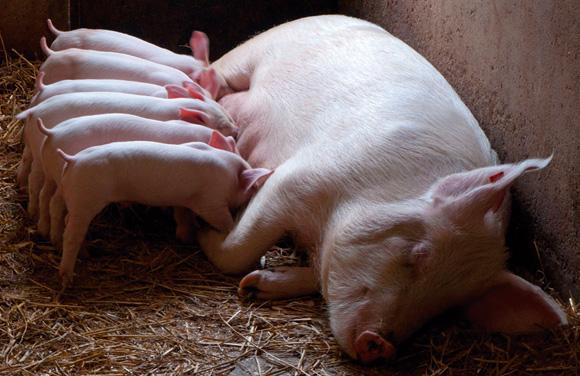 Producción de ganado porcino: nuevas crías y cerdos deengorde
