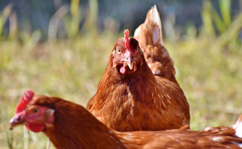 Breve historia de los pollos domésticos: hace 8.000 añosatrás