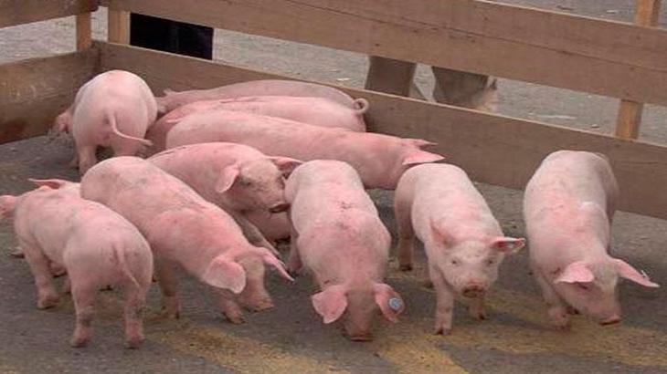 Con piel de cerdo curan heridas enhumanos
