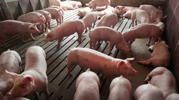 Científicos crearon embriones de cerdo con célulashumanas